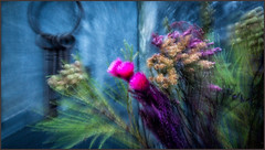 ABSTRACT FLOWERS (Alison McKay Photography) Tags: flowers roses macro rose conservatory slate november2015