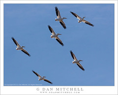 White Pelicans (G Dan Mitchell) Tags: california county sky usa white nature birds america wildlife flock north group flight reserve merced pelican national