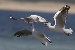 Silver Gull (boombana) Tags: seagull gull sydney silvergull chroicocephalus 2015lchroicocephalusnovaehollandiae