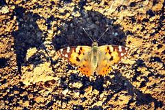 Painted Lady (tinlight7) Tags: vanessa orange butterfly egypt lepidoptera giza animalia arthropoda paintedlady vanessacardui insecta nymphalidae hexapoda pterygota papilionoidea nymphalinae distelfalter belledame ohdakeperhonen taxonomy:class=insecta taxonomy:order=lepidoptera taxonomy:family=nymphalidae taxonomy:genus=vanessa nymphalini taxonomy:kingdom=animalia taxonomy:phylum=arthropoda taxonomy:subclass=pterygota taxonomy:superfamily=papilionoidea taxonomy:subfamily=nymphalinae taxonomy:binomial=vanessacardui taxonomy:common=paintedlady taxonomy:subphylum=hexapoda taxonomy:species=cardui  taxonomy:tribe=nymphalini  taxonomy:common=distelfalter vanesapintada taxonomy:common=vanesapintada taxonomy:common=belledame taxonomy:common= migradoradelscards taxonomy:common=migradoradelscards taxonomy:common=ohdakeperhonen taxonomy:common=