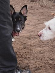 Fili (mikros.anthropos) Tags: fili dog hund indoor crossbreed mix mutt mischling tier animal boxer husky australianshepherd nikond3300 hollandseherdershond