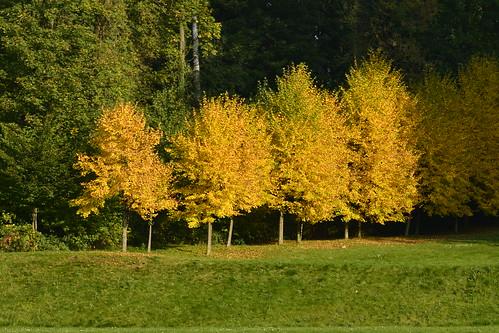 Les arbres aux feuilles d'or