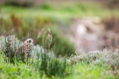 Coruja-do-nabal (short-eared owl) (pedrobaptistaphotography) Tags: natureza aves owl outono shortearedowl asioflammeus shorteared corujadonabal baixomondego