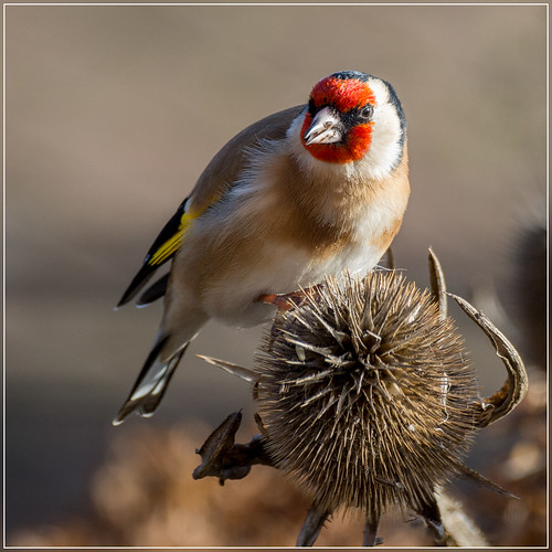 Putter or Distelvink (Goldfinch)