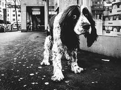 sad dog (matthias hämmerly) Tags: sad dog hund street zürich zuerich ricoh grd 2 grain contrast candid streetphotography littledoglaughednoiret