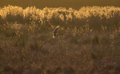 Sunset over the fen (Chris Bainbridge1) Tags: sunset cambridgeshire fens reed bed shortearedowl asioflammeus back lit