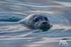 Curious Seal (fascinationwildlife) Tags: animal mammal seal robbe sea ocean harbour common moss landing usa america california winter wild wildlife nature natur seehund