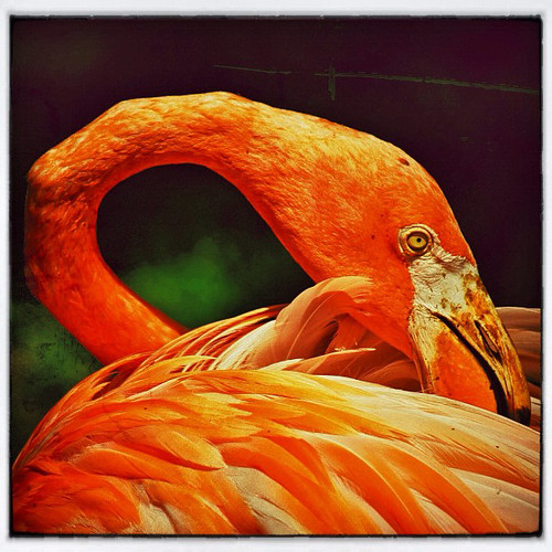 """Flamingo • <a style=""""font-size:0.8em;"""" href=""""http://www.flickr.com/photos/150185675@N05/31627630606/"""" target=""""_blank"""">View on Flickr</a>"""