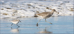 Sanderling chasing Willet with a Sandcrab (AdititheStargazer) Tags: sanderling willet sandcrab morrobay california