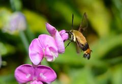Hummingbird Clearwing Moth (av8s) Tags: hummingbirdclearwingmoth moth sweetpea flower wildlife nature photography nikon d7100 sigma 120400mm nescopeckstatepark pennsylvania pa