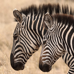 United Uniqueness (AnyMotion) Tags: plainszebra steppenzebra equusquagga mother mutter foal fohlen portrait porträt profile profil 2015 anymotion tarangirenationalpark tanzania tansania africa afrika travel reisen animal animals tiere nature natur wildlife 7d2 canoneos7dmarkii square 1600x1600 ngc npc specanimal specanimalphotooftheday