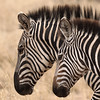 United Uniqueness (AnyMotion) Tags: plainszebra steppenzebra equusquagga mother mutter foal fohlen portrait porträt profile profil 2015 anymotion tarangirenationalpark tanzania tansania africa afrika travel reisen animal animals tiere nature natur wildlife 7d2 canoneos7dmarkii square 1600x1600 ngc npc