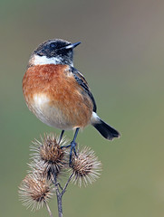 Stonechat (oddie25) Tags: canon 1dx 600mmf4ii chats stonechat bird nature wildlife breandowns brean thistle