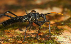 Assassin Bug, Zelurus sp. mimicking a tarantula wasp (Ecuador Megadiverso) Tags: andreaskay ecuador assassinbug heteroptera mimicry reduviidae tarantulahawk tarantulawasp truebug zelurussp