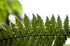 Fern I (goodbyetrouble) Tags: fern farn auckland nz new zealand neusseland plant pflanze blatt leaf nature natur green grün aotearoa