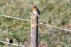 cip (conteluigi66) Tags: uccello palo posato volatile allaperto animale prato erba campagna natura luigiconte recinzioneù