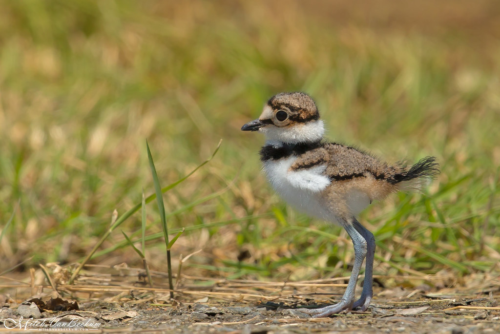 Kildeer Chick (Explored)