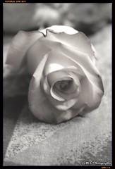 Loving Dream (PhotoJester40) Tags: indoors inside rose bnw blackandwhite flower valentinesgift memory dream amdphotographer
