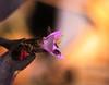 Pink flower on a Magenta leaf (Sudhamshu) Tags: flower pink magenta 100mmf28 macro bee stamen