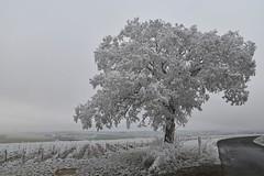 #AM J'y suis p'tète allé un peu fort avec la bombe à givre pour les fêtes... :-) (Thierry.Vaye) Tags: neige givre glace hiver froid nièvre verglas champ vignes arbre chemin route lignedefuite