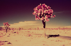 Infrared Joshua Trees (carlfieler) Tags: infrared aerochrome analog 35mmfilm canona1 28mmlens joshuatree california desert nature landscape