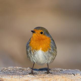 Monrepos' Robin