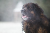 dEUS the dog (Jérôme Olivier) Tags: 2017 animaux bois chiens d300 dog hiver neige winter
