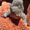 Baby squirrel my dog Honey caught and brought inside (jungle mama) Tags: squirrel towel caught honey babysquirrel