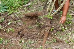 Yuca roots (cassava) IMG_9914 (grebberg) Tags: community sionalodge rainforest puertobolivar sionaindiancommunity cuyabenoreserve amazon ecuador january 2017 cuyabenoriver yuca cassava manihotesculenta