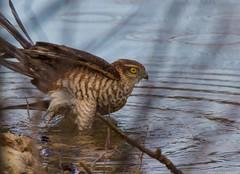 Sparrow hawk female in the  bath, Épervier d'europe femelle au bain, Accipiter nisus (jymandu) Tags: