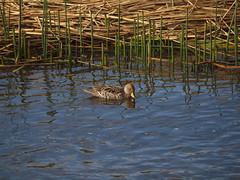 FR010468 (juandiegoperaltarivera) Tags: un lindo pato en la laguna de cocha