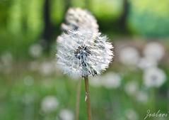 Dandelion (zouberiphotography) Tags: nature flower plant closeup depthoffield macro nikon d7000 blur dandelion seed seeds