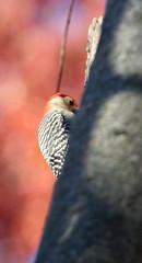 Red-bellied woodpecker in Staten Island, New York, USA. November, 2016 (Tom Turner - SeaTeamImages / AirTeamImages) Tags: redbelliedwoodpecker woodpecker birding birdwatching nature wildlife melanerpescarolinus winged feathered featheredfriend tomturner statenisland newyork nyc bigapple unitedstates usa