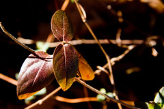 IMG_0023 Honeysuckle (oldimageshoppe) Tags: leaves honeysuckle wintercolor sunshine