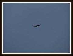 Kestrel.    over Old Ley Field  #hwcp (postman.pete) Tags: wickedweasel hwcp bonfire duck great kestrel lumix river tit water winter