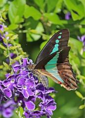 Bluebottle Butterfly 011 (DMT@YLOR) Tags: bluebottlebutterfly bluebottle tree flower geishagirl goodna ipswich queensland australia home garden