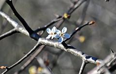 WHITE FLOWER TREE 1 (KayLov) Tags: nature environment ecology swamp phinizy augusta ga georgia creek water pond lake wildlife
