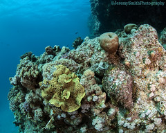 Stonefish, Synanceia verrucosa, Hurgada, Red Sea (Jeremy Smith Photography) Tags: diving egypt hurgada jeremysmith jeremysmithphotography jeremysmithphotographycouk redsea scubadiving stonefish subalnd810 synanceiaverrucosa underwaterphotography