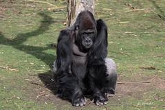 Western lowland gorilla (K.Verhulst) Tags: westernlowlandgorilla westelijkelaaglandgorilla gorilla ape mensaap zilverrug silverback beeksebergen safaripark safariparkbeeksebergen hilvarenbeek tilburg apen monkeys mbewe