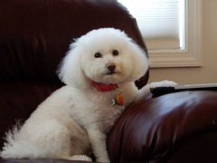 Zoe - Photo by STEVEN CHATEAUNEUF - February 26, 2017 (snc145) Tags: dog pet animal zoe photo unedited stevenchateauneuf february262017 window sofa soe autofocus theunforgettablepictures bichon flickrunitedaward
