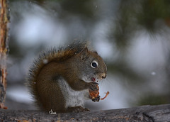 American Red Squirrel eating in falling snow - 3258b+ (teagden) Tags: red squirrel redsquirrel earting pine cone jenniferhall jenhall jenhallphotography jenhallwildlifephotography wildlifephotography wildlife naturephotography nature photography nikon wild wyoming winter winterscene fallingsnow snow americanredsquirrel pinesquirrel closeup
