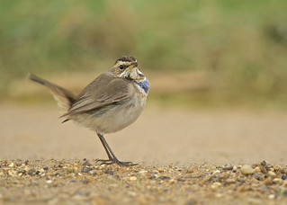Bluethroat DSC_6596