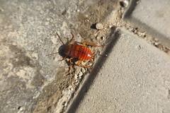 Blattodea (esta_ahi) Tags: blattodea insectos fauna vilafrancadelpenedès barcelona spain españa испания periplaneta americana periplanetaamericana cucarachaamericana cucaracharoja