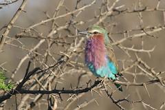 Lilac-breasted Roller (Coracias caudatus) (Brendan A Ryan) Tags: lilacbreastedroller coraciascaudatus