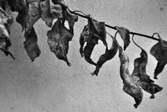 Leaves (Eleni Maitou) Tags: leaves nature naturephotography bnw nikon nikond90
