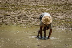Worker in Rice Field (Travelling Rats) Tags: bangladesh srimongal bestofbangladesh