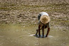 Worker in Rice Field (Travelling Rats) Tags: bangladesh srimongal bestofbangladesh