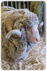 The Ekka, Brisbane: Ram (Craig Jewell Photography) Tags: 50mm sheep australia brisbane exhibition queensland f25 agricultural woolshed ekka 2015 ef50mmf14usm rnashowgrounds iso640 0ev sec canoneos1dmarkiv filename20150809142944x0k1926cr2 272657s153160e