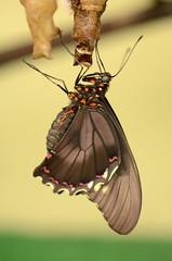 Hanging to dry (Rene Mensen) Tags: black nature butterfly nikon nikkor drenthe emmen noorderdierenpark dierentuin dierenpark d5100