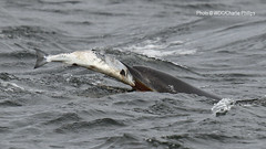 Kesslet & Fish (Charlie S Phillips) Tags: sea marine dolphin conservation wdc charlie dolphins whale moray firth bottlenose tursiops truncatus